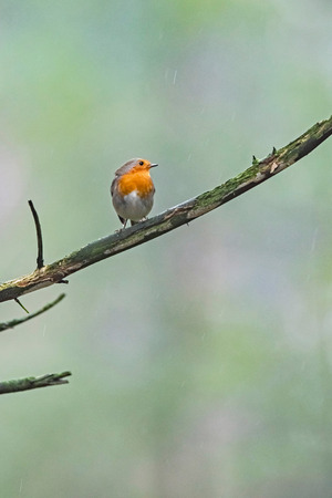 European robin (Erithacus rubecula) perched on twig in rainy forest.