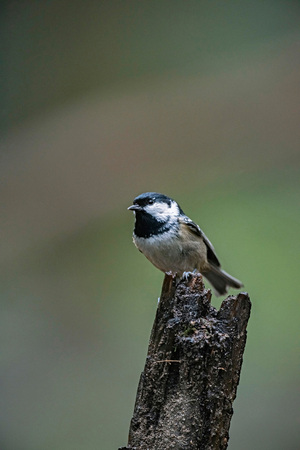 Marsh tit (Poecile palustris) perched on tree stump in forest. Stock Photo