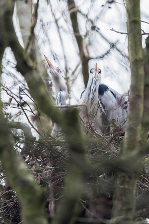 Grey heron (Ardea cinerea) couple sitting on nest in winter tree.