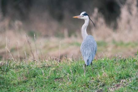 Grey heron (Ardea cinerea) in field near ditch looking for food.