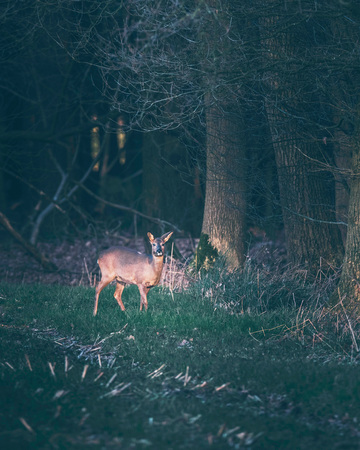 Suspicious roe deer in farmland picking up sound coming out of forest. 写真素材 - 97320939