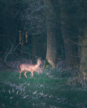 Suspicious roe deer in farmland picking up sound coming out of forest. 写真素材 - 97347550