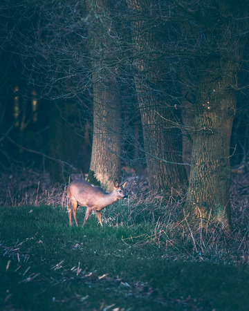 Suspicious roe deer in farmland picking up sound coming out of forest.