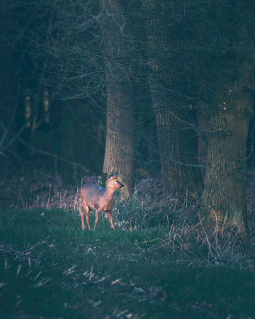 Suspicious roe deer in farmland picking up sound coming out of forest. 写真素材 - 97322823