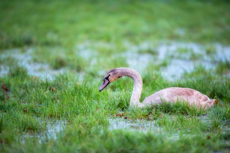 Young mute swan in marshy meadow with puddles.