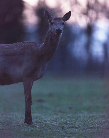 Female red deer in field at dusk. Stock Photo