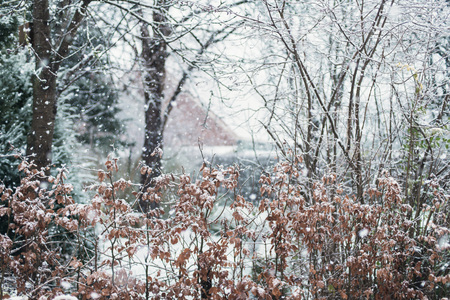 Beech hedge in snowy backyard during snowstorm. Stock Photo