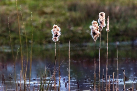 Plumes of common bulrush in evening light. Stock Photo
