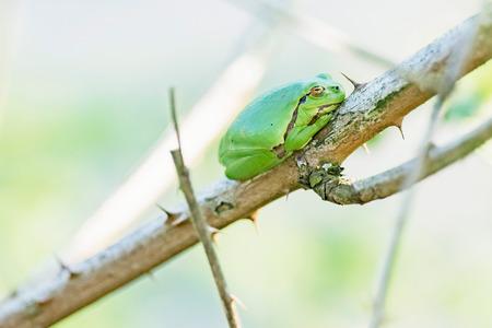 European tree frog (Hyla arborea) on stem of blackberry bush. Stockfoto