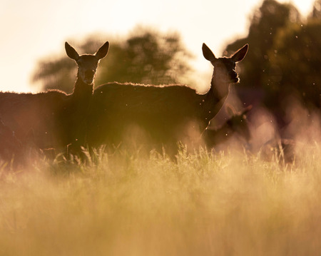 Group of red deer hinds in meadow backlight by evening sun. Stock fotó