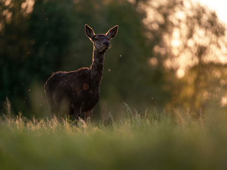 One red deer female in backlight of evening sun. Stock Photo