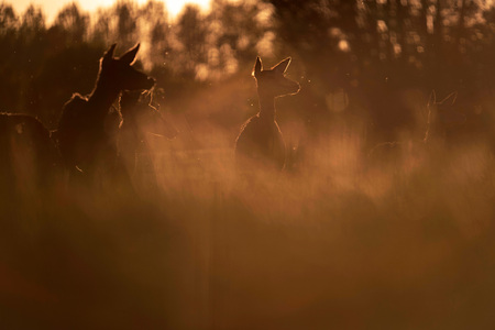 Group of red deer hinds in meadow backlight by evening sun. Stock Photo