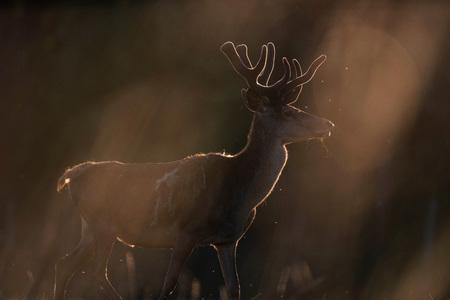 Red deer stag with velvet antler in evening sunlight.