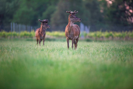 Two red deer stag in spring meadow near vineyard at sunset. Stock Photo