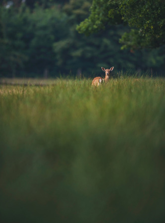 Female deer between tall grass in forest. Stock Photo