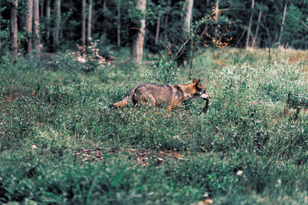 Eurasian wolf walking with prey between shrubs in forest. Stock Photo