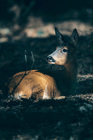 Roe resting in forest in sunlight.