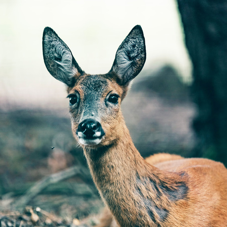 Portrait of roe deer lying down in forest.