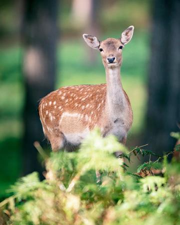 Female fallow deer behind ferns in autumn forest.