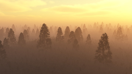 Misty pine forest at sunset. Stock Photo