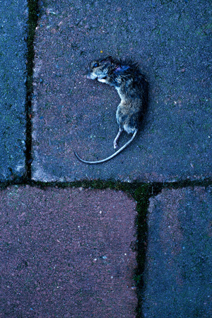 Dead mouse on tiles. Top view.