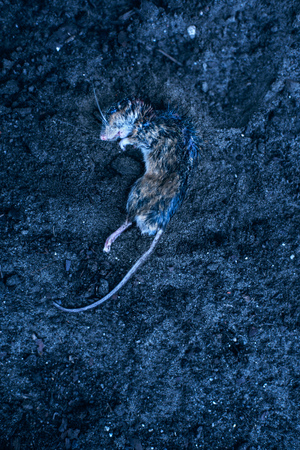 Dead mouse in dirt. Top view. Stock Photo