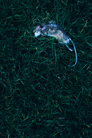 Dead mouse in grass. Top view. Stock Photo