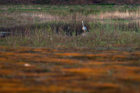 Grey heron in little lake in nature reserve. Stock Photo