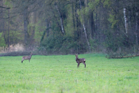 Roe buck and goat in forest meadow. Stock Photo