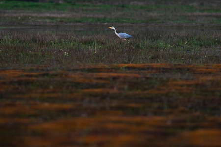 Grey heron in field in nature reserve.