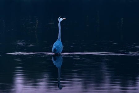 Grey heron wading in lake at dusk.