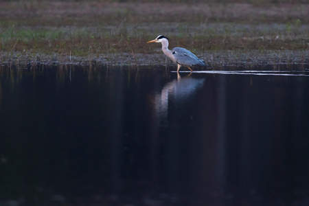 Grey heron standing at edge of lake in nature reserve.