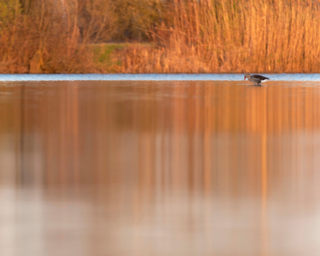 Greylag goose in lake with reed at sunrise. Side view.