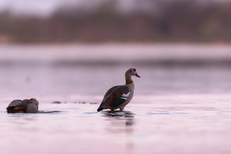 Egyptian goose in lake at sunrise.