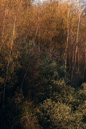 Birch trees and other vegetation in morning sunlight during early spring. Stock Photo