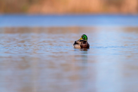 Male mallard floating in lake at sunrise. Side view. Stock Photo