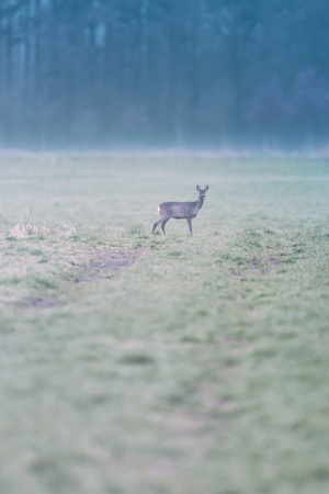 Roe deer in misty meadow at edge of pine forest.