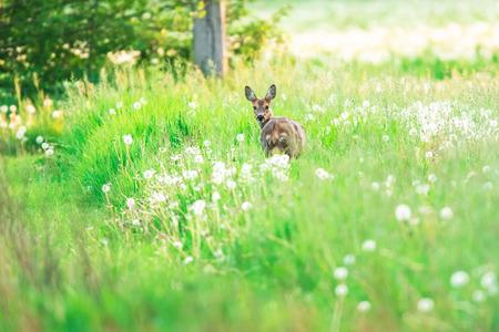 Roe deer in meadow with dandelions. Banque d'images