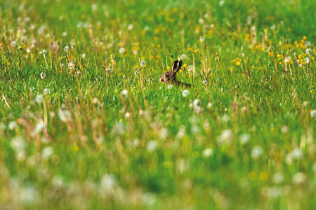 Hare sitting in sunny spring meadow. 스톡 콘텐츠 - 123399635