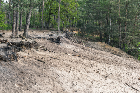 Sandy canyon in pine forest in spring. Imagens