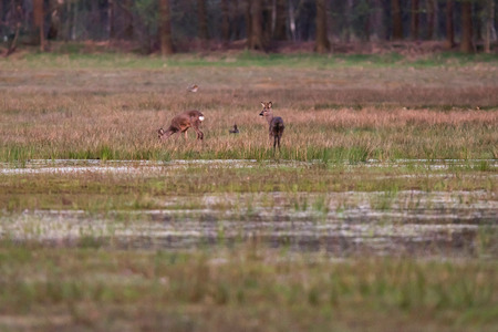 Grazing roe deer in grassy wetland at sunset.