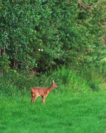 Roe deer doe standing in meadow near forest edge in spring.