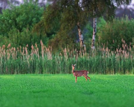 Alert roe deer doe in farmland in spring at sunset.