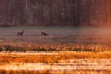 Two roe deer in meadow near forest in evening sunlight.