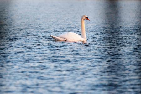 Mute swan in lake in evening sunlight. Reklamní fotografie - 124482992