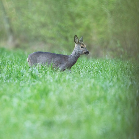 Roe deer doe in meadow in early spring.