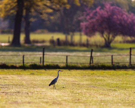 Grey heron in sunny meadow in spring.