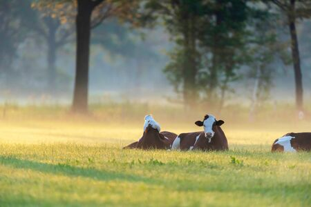 Cows lying in misty meadow at sunrise. Stockfoto