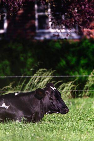 Cow lying under tree in sunny meadow.