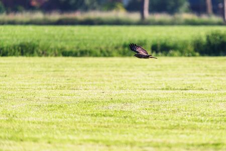 Buzzard flying low over sunny meadow.